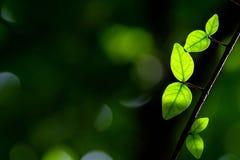 Budding leaves Stock Photo