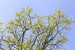 Background budding leaves of an oak tree,blue sky Royalty Free Stock Image