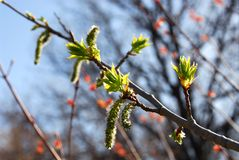 Budding leaves spring Royalty Free Stock Photo