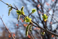Free Budding Leaves Spring Royalty Free Stock Photo - 1330535