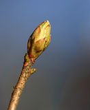Budding leaves on the tree bough in the spring royalty free stock photography