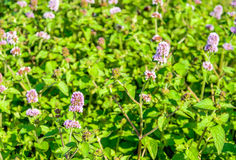 Budding and lilac flowering water mint plants from close Royalty Free Stock Photography