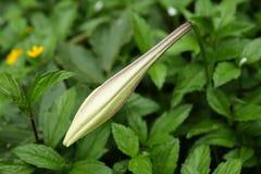 The budding lily (Lilium formosanum). Royalty Free Stock Photo