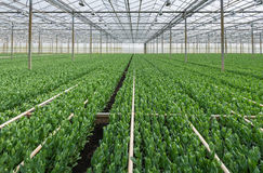 Budding Lisianthus plants in a greenhouse farming business Stock Images