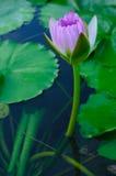 Budding lotus Royalty Free Stock Photo