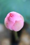 Budding Lotus Stock Photo
