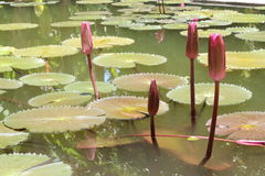 Budding lotus in pond Stock Image