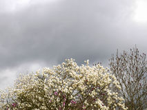 Budding magnolia treetop with gray sky. Magnolia treetops and gray sky with clouds Stock Image