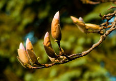 Budding Magnolias Royalty Free Stock Images