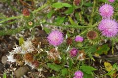 Budding milk thistle in the foreground stock image