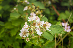 Budding and pale pink blossoming blackberry flowers from close Royalty Free Stock Images
