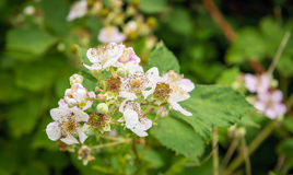 Budding and pale pink blossoming blackberry flowers and still un Royalty Free Stock Photo