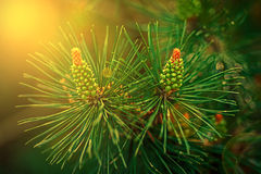 Budding pine cones in sunset light Stock Photos