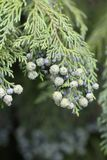 Budding Pine Tree Stock Photography