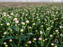 Budding pink Chrysanthemums from close Royalty Free Stock Photos