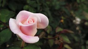 Budding Pink Rose Stock Photos