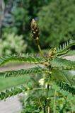 Budding Plant. In the English Garden, Assiniboine Park, Winnipeg, Manitoba, Canada stock photography