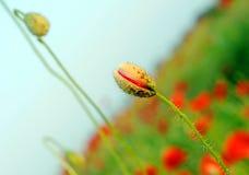 Budding poppies. Budding poppy flowers in a field stock photo