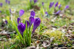 Budding purple crocuses between the fresh grass. And the fallen leaves of the previous season. A nice symbol for the life cycle royalty free stock image
