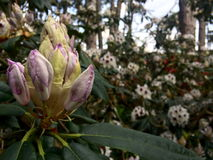 Budding rhododendron close up. On big blooming background Stock Photography