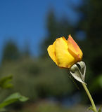 Budding Rose. Yellow Rose coming into bloom Stock Photography