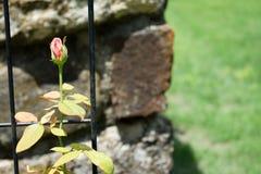 Budding Rose Stock Images