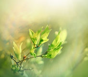 Budding spring leaves lit by sun rays Royalty Free Stock Images