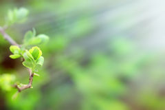 Budding spring leaves lit by sun rays (sunbeams), life begins Royalty Free Stock Photo
