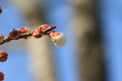 Budding. Spring to the park cherry blossom has been basically budding, and even some can not wait, has begun to bloom their own beauty Royalty Free Stock Photo