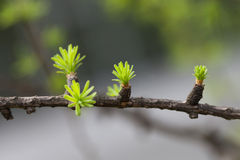Budding spruce branch, springtime forest. macro view, soft focus background, shallow depth of field. New life, beginning Stock Image