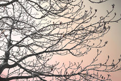 Budding tree. Bare tree with blossom buds in spring. Nature background. Sunset scene royalty free stock photography