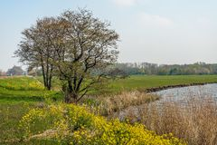 Budding tree at the edge of the water. Budding tree with curly branches  at the edge of the water of a small lake in the Netherlands. In the foreground rapeseed stock photo