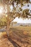 Budding vines on Santorini vineyard Royalty Free Stock Images