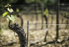 Budding vineyards Royalty Free Stock Photo