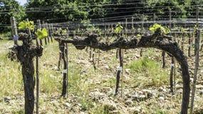 Budding vineyards. In Tuscany, Italy Stock Photography
