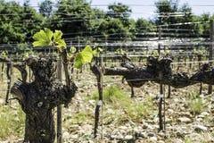 Budding vineyards. In Tuscany, Italy Royalty Free Stock Image