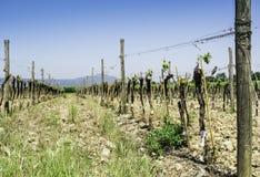 Budding vineyards. In Tuscany, Italy Stock Image