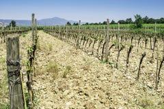 Budding vineyards. In Tuscany, Italy Stock Photo