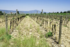 Budding vineyards. In Tuscany, Italy Stock Photos