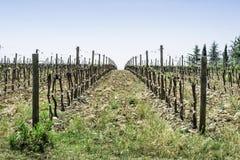 Budding vineyards. In Tuscany, Italy Royalty Free Stock Images