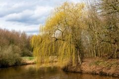 Weeping willow in the early spring. Budding weeping willow in the beginning of the spring season at the bank of a small river in the Netherlands Royalty Free Stock Photography