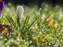 Budding white crocus stock photography