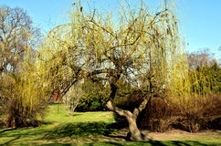 Budding willow Stock Photography