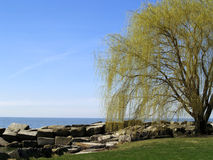 Budding Willow Tree. Willow tree budding with spring at the edge of Lake Erie Royalty Free Stock Photography