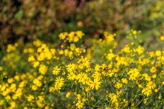 Budding, yellow blooming and overblown narrow-leaved ragwort or. Senecio inaequidens plants in their natural habitat. One honey bee collects nectar on one of royalty free stock photos