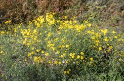 Budding, yellow blooming and overblown narrow-leaved ragwort or. Budding, yellow flowering and overblown narrow-leaved ragwort or Senecio inaequidens plants in royalty free stock photography