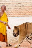 Buddist monk and volunteers with Bengal tiger at the Tiger Temple Royalty Free Stock Image