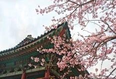 Buddistisk tempel på Jeju Korea med sakura den körsbärsröda blomningen Royaltyfria Foton