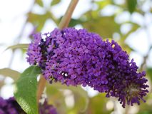 Buddlea blossom in garden in Burnley England. The buddlea bush is sometimes called the butterfly bush as butterflies are so attracted to the nectar filled stock photos