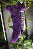 Buddleia Stockfotos